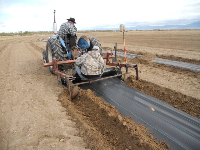 Laying down weed mat for a shelter belt planting near Freezeout Lake