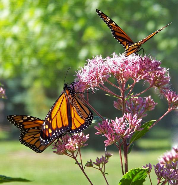 Monarch and Pollinator  Habitat Tour
