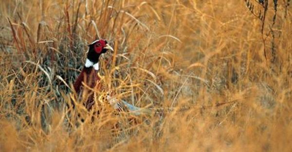 raska: Drought may have helped pheasants