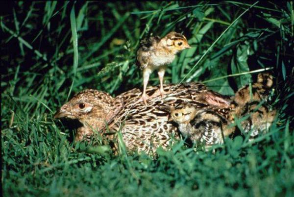 Plymouth County Pheasants Forever - Habitat Page