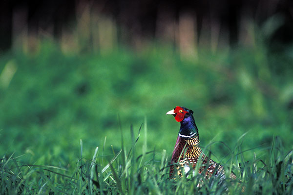 Puget Sound Pheasants Forever - About Us Page